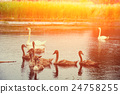 family of swans swimming on the river 24758255