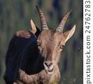 Female alpine ibex 24762783