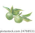 酢橘(日本柑橘) 水果 柑橘類植物 24768531