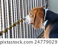 sad beagle dog in the cage 24779029