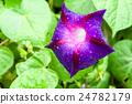 Ipomoea purpurea, petals and water drops 24782179