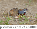 King quail Button Quail Male and Female 24784000
