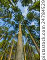 日本柳杉 森林 樹林 24784529