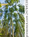 日本柳杉 森林 树林 24784530