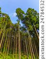日本柳杉 森林 樹林 24784532
