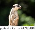 Meerkat on alert 24785480