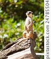 Small cute meerkat or suricate on alert 24785504