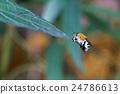 cuckoo bees 24786613