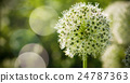 Beautiful White Allium circular globe shaped 24787363