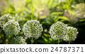 Beautiful White Allium circular globe shaped 24787371