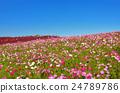 คอสมอส,ต้นเมเปิล,ดอกไม้ 24789786