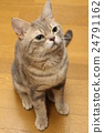 American Short Hair Blue Tabby 24791162
