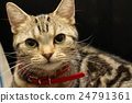 American Short Hair Ameshaw Brown Tabby 24791361