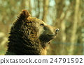 bear, bears, animal 24791592