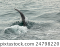 Killer Whale - Orcinus Orca in Pacific Ocean 24798220