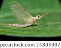 Mayflies on a leaf 24803007