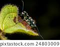 Blue-spotted tiger beetle (Cicindela aurulenta) 24803009