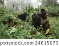 A female mountain gorilla with a baby in Rwanda 24815073