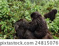 A female mountain gorilla with a baby on top 24815076