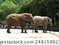 elephant, african, loxodonta 24815862