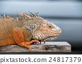 iguana indonesia close up portrait looking at you 24817379