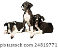 Three cute puppies greyhounds on a white 24819771