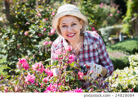 Stock Photo: Senior woman trimming a rose-bush in garden