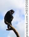 黑猩猩 動物 動物園 24839568