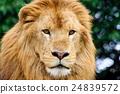獅子 動物園 動物 24839572