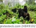 Female mountain gorilla with baby on top 24849102