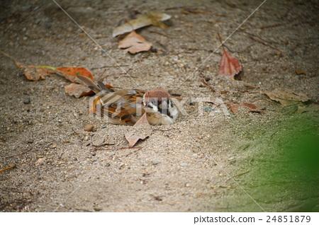 沐浴在沙子的麻雀 24851879