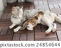 breast, cat, feeding 24854644