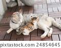 breast, cat, feeding 24854645
