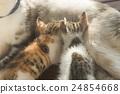 breast, cat, feeding 24854668