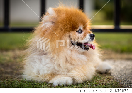 Stock Photo: Pomeranian Dog in Lawn