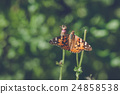 Vanessa Cardui butterfly in orange colors 24858538