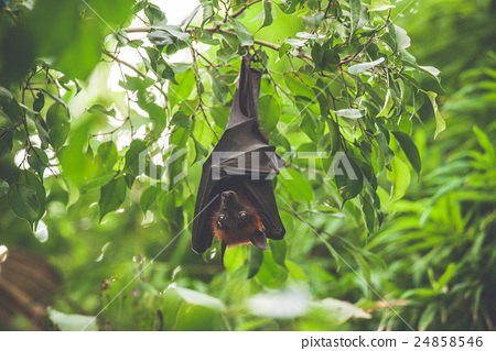 Bat hanging upside down in a green rainforest 24858546