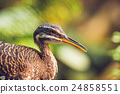 Close-up of a sunbittern bird in a rainforest 24858551