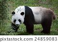 panda in nature 24859083