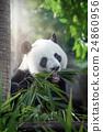 panda 24860956