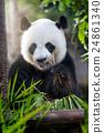 eating panda 24861340