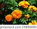 금잔화, 오렌지색, 꽃 24866684