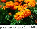 금잔화, 오렌지색, 꽃 24866685