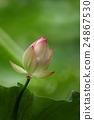 荷花 睡莲 黄色 24867530