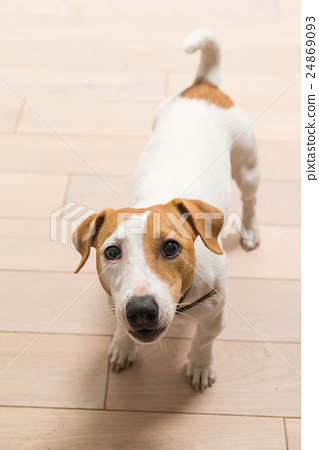 Jack Russell Terrier at home 24869093