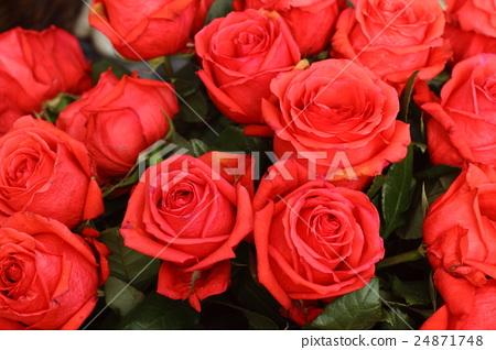 火紅玫瑰 24871748