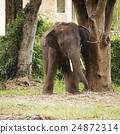 大 大象 森林 24872314