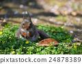日本松鼠 松鼠 小動物 24878389