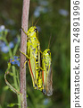 Alpine green grasshopper coupling 24891996