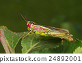 Mountain red and green grasshopper on a leaf 24892001